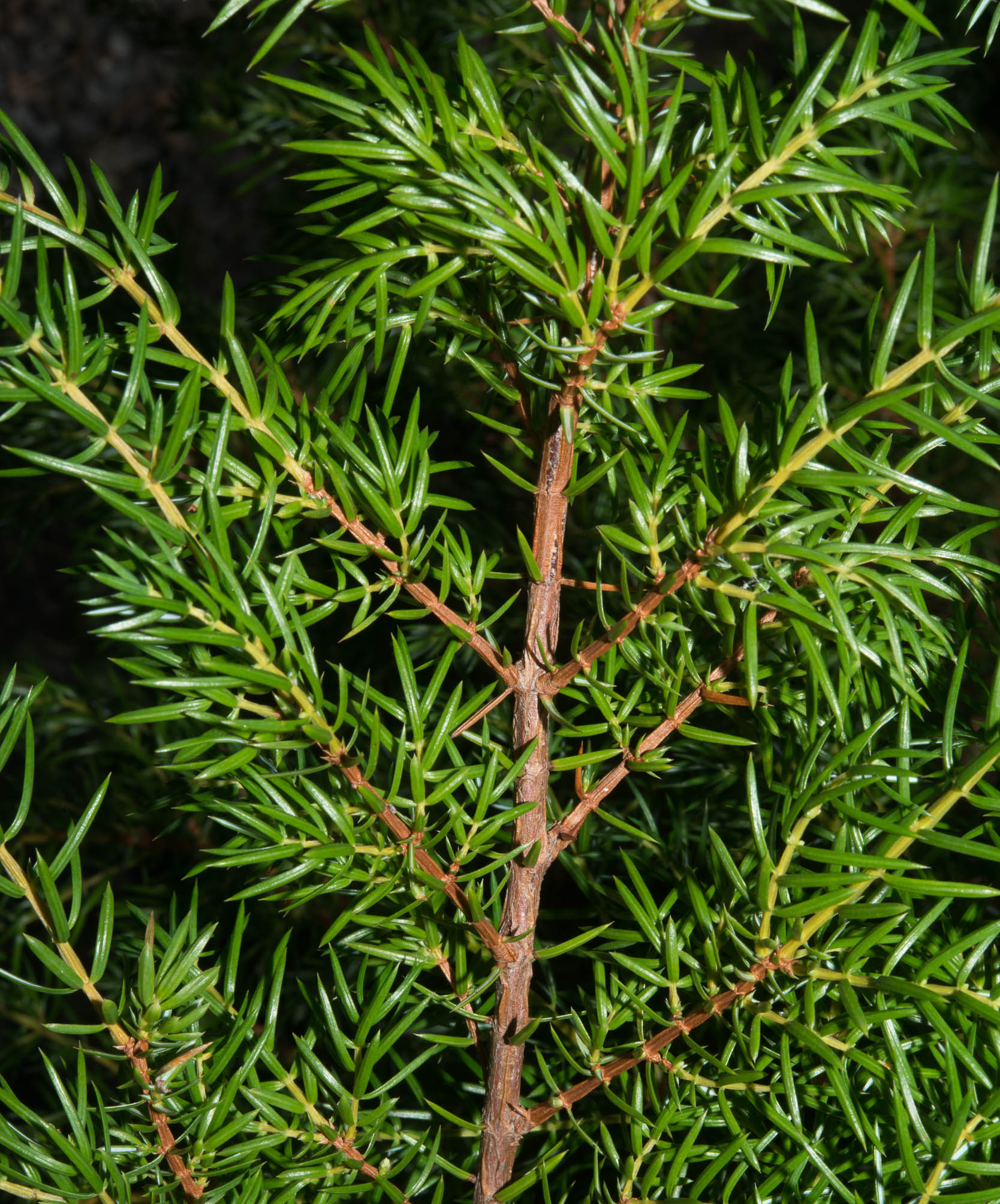 Ground Juniper (Juniperus communis)
